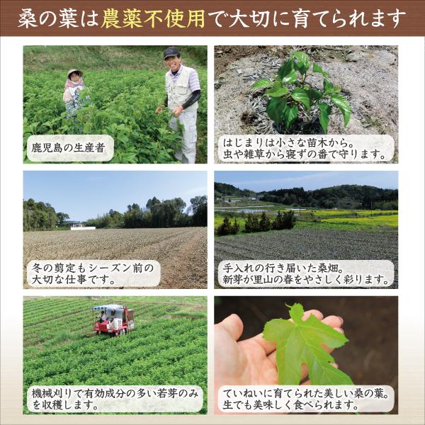 鹿児島県の桑の葉栽培